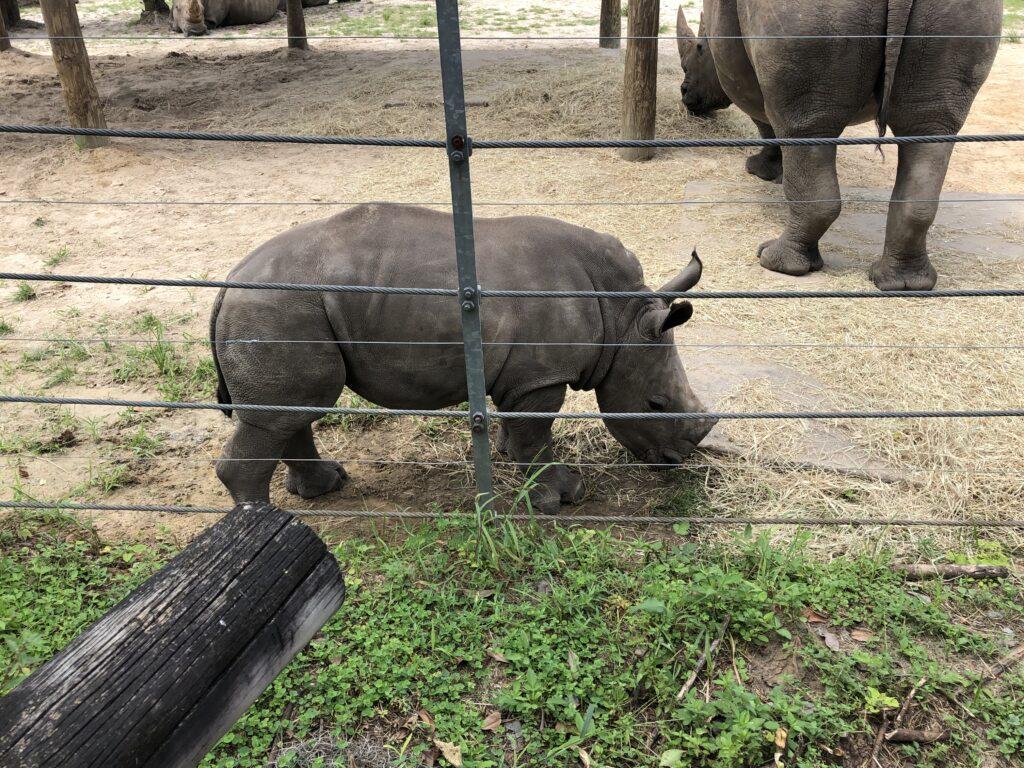 Zoo Tampa Baby Rhino